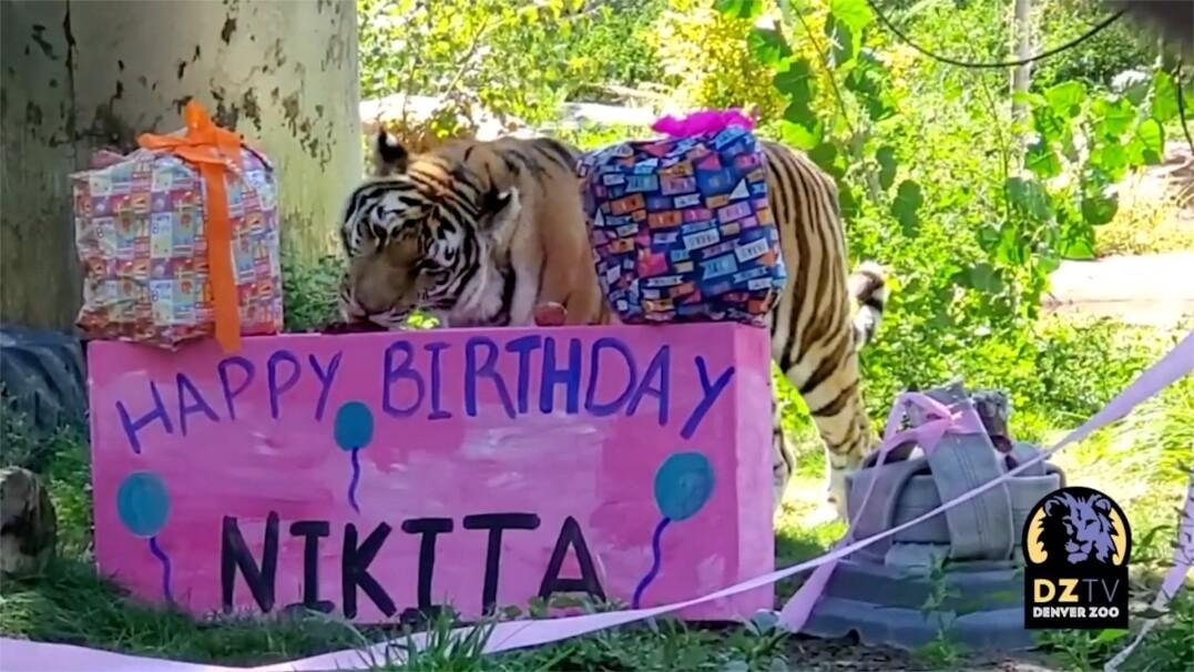 Dziesiąte urodziny tygrysicy. Nie zabrakło prezentów i przysmaków