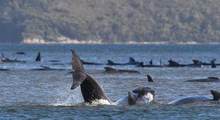 Gromada waleni utknęła na mieliźnie w pobliżu Tasmanii (PAP/EPA/BRODIE WEEDING / POOL)