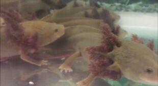 Naukowcy walczą o przetrwanie salamander z jeziora Patzcuaro