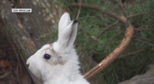 Zając bielak hodowany jest tyko w zoo we Wrocławiu